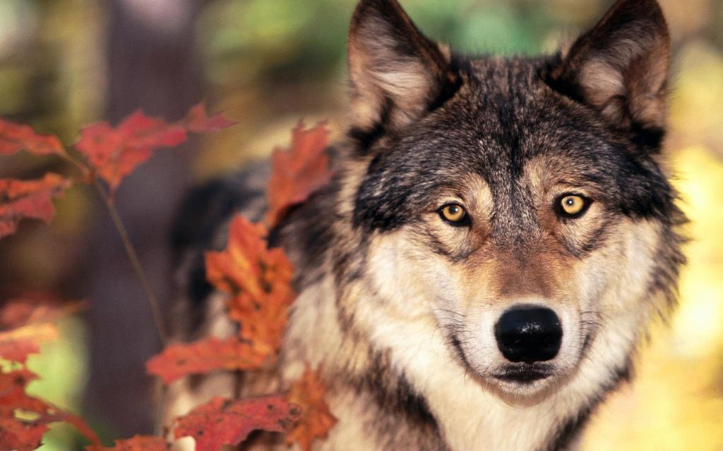 オオカミ 夢心理