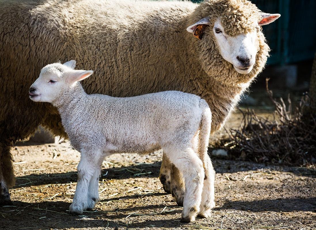 羊 夢心理